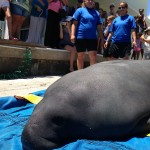SeaWorld Orlando Returns Manatee to Waters near Boca Grande after Rehabilitation