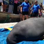 SeaWorld Orlando Returns Manatee to Waters near Boca Grande after Rehabilitation
