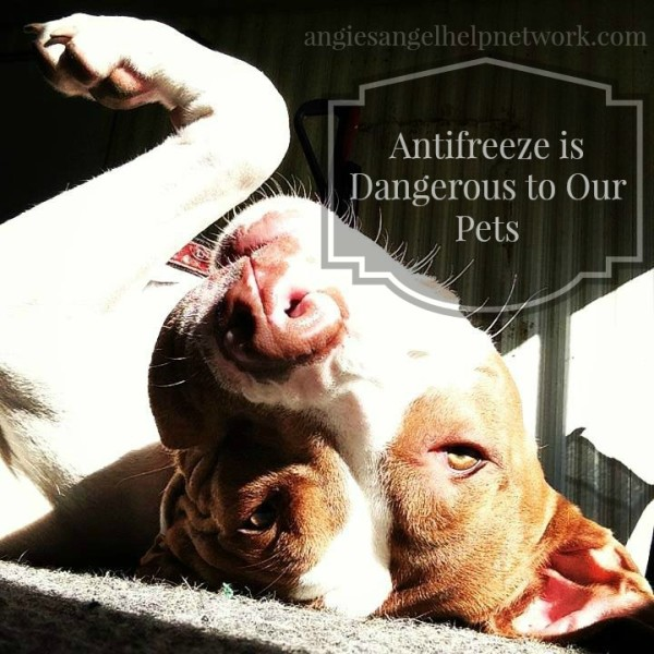 Antifreeze is Dangerous to Our Pets